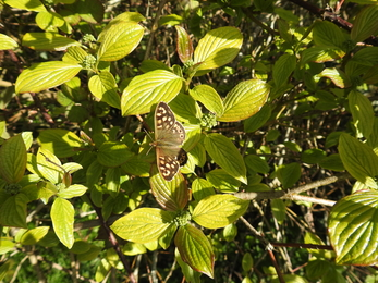 Speckled wood on wayfaring tree © Claire Lewis