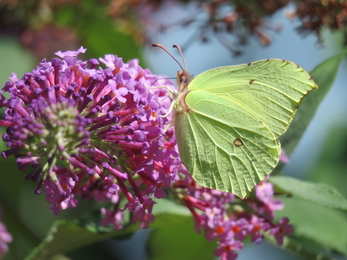 Brimstone butterfly from last summer by Claire Lewis © Claire Lewis