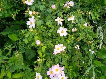 Pink dog rose  flowers trail along lush green brambles