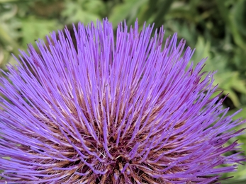a close up of the cardoon flower, an unusual flower with many fine strands of lilac forming a large round spherical flower