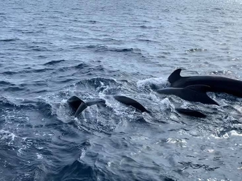 out of a dark blue ocean the tall fin and dark body of pilot whales can be seen poking out of the water