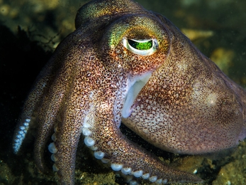 Squid (stock photo)