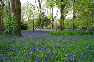 Bluebells at Burncoose Open Garden