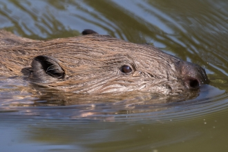 Beaver close up by Jack Hicks