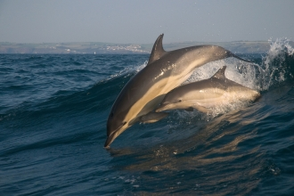 Common dolphins in St Ives - Adrian Langdon