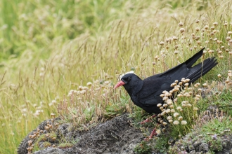 Chough on the cliffs penhale Ben Watkins