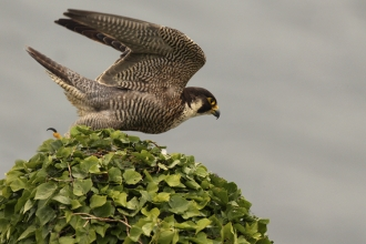 Peregrine in pursuit, by Ian McCarthy