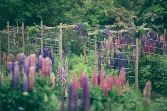 Cornish Cutting Garden lupin arch