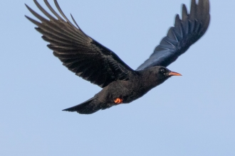 Cornish chough by Jack Hicks