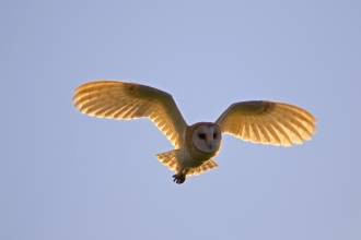 Barn owl by Martin Yelland