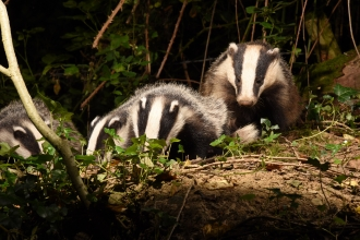 Badgers by David Lidstone