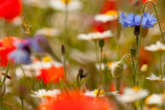 daisy, cornflowers and poppies in bloom