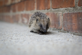 Hedgehog without a home on pavement by wall