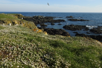 Photo of Scurvygrass along coast of Looe Island