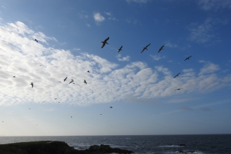 Flying Gulls across a blue sky on Looe Island - Claire Lewis
