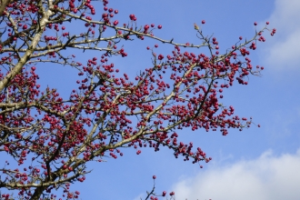 Red hawthorn berries against a blue sky