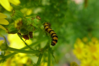 An orange and black striped caterpillar crawls up the bright green stem of some ragwort - standing tall with bright yellow flowers