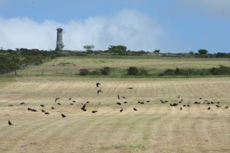 a flock of black corvids land on an expanse of sand-coloured croppped field with blue skies and shrubs behind them