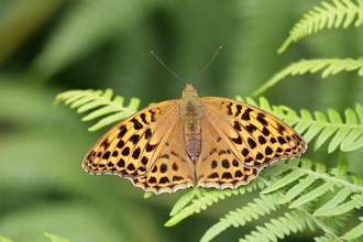 Silver-washed Fritillary by Dave Thomas