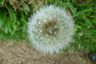 Dandelion demonstrating its beautiful seeds designed to catch the wind