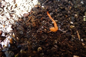 an inconspicuous orange worm-like creature lies amongst soil. The worm is very ting and orange