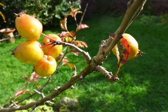 Gardner's Gold Crab Apples in the garden