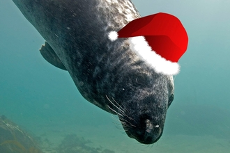 Seal in a Christmas hat