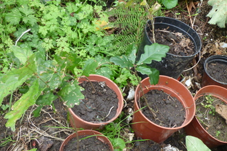 Oak seedlings in garden pots