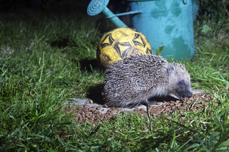 Hedgehog eating in the garden
