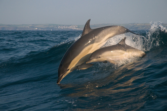 Common dolphin and calf