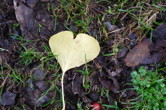 Heart leaf in the ground