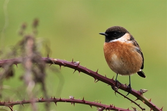 Stonechat perched on thorns