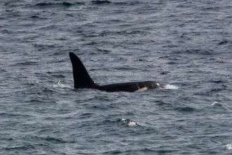 Orca named 'Aquarius' photographed off the coast of West Cornwall