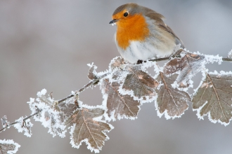 Robin (Erithacus rubecula) adult perched on frosted leaves in winter