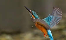 kingfisher_photo_by_malcolm_brown
