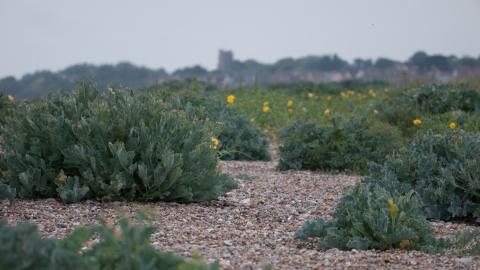Vegetated shingle beach