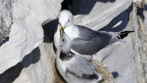 Kittiwake chick at nest
