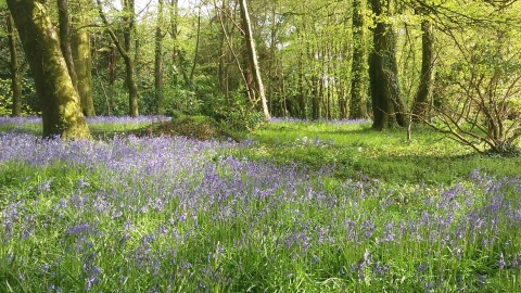 bluebell field at Coldrenick