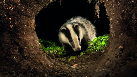 Badger by David Chapman