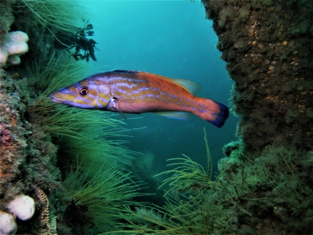 Cuckoo wrasse by Mike Etheredge  - mohegan wreck