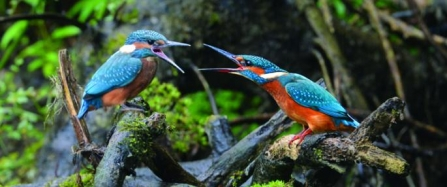 7._july_and_cover_-_common_kingfishers_by_adrian_langdon