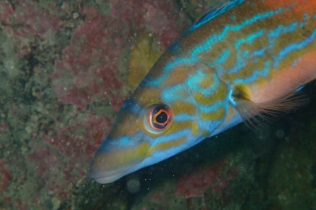 Cuckoo Wrasse on the Manacles, by Matt Slater