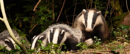badgers_by_david_lidstone