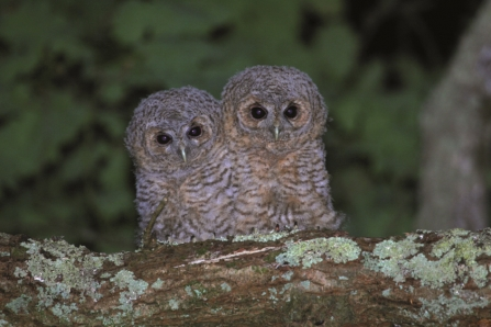 Tawny owl chicks by Terry Dunstan