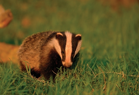 Badger by Andrew Parkinson -2020VISION