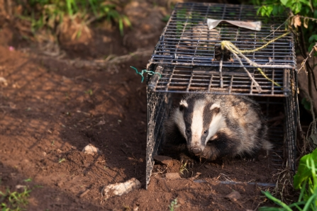 Vaccinated badger being released by Seth Jackson