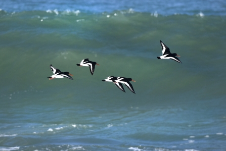 Oyster Catchers in flight, Harlyn Bay, by David Spink