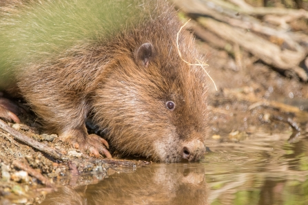 Beavers Are Back In Cornwall!