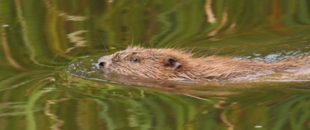 RETURN TO THE WILD: Bringing Beavers back to Cornwall