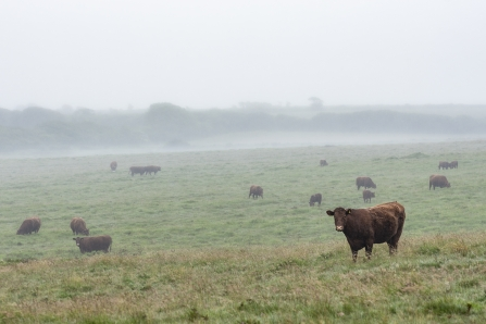 Cows on Rosenannon Downs Nature Reserve